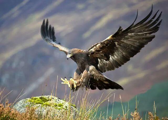 Águila cazando