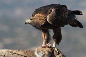 Renovación y transformación del águila