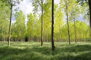 ¿Árboles de la misma especie unidos por un hilo invisible?