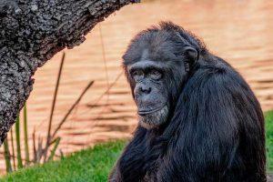 Chimpancé y la dieta sana
