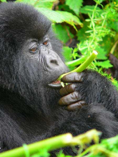 Alimentación de los primates: Gorila