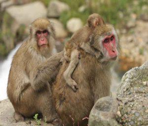 Macaco de cara roja y sincronicidad