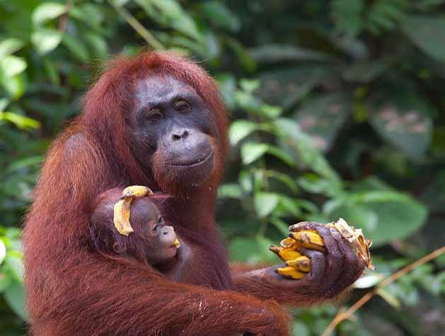 Alimentación de los primates: Orangután