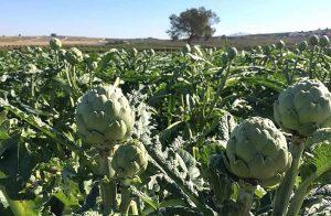 Cynara scolymus o alcachofa, una de las mejores plantas depurativas para el hígado.