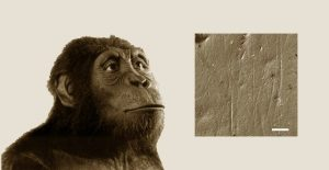 Alimentación del Australopithecus anamensis