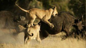 La incomparable velocidad, agilidad y destreza de los depredadores