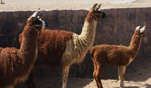 Lepidium meyenii en la alimentación de animales domésticos aumentaba su descendencia