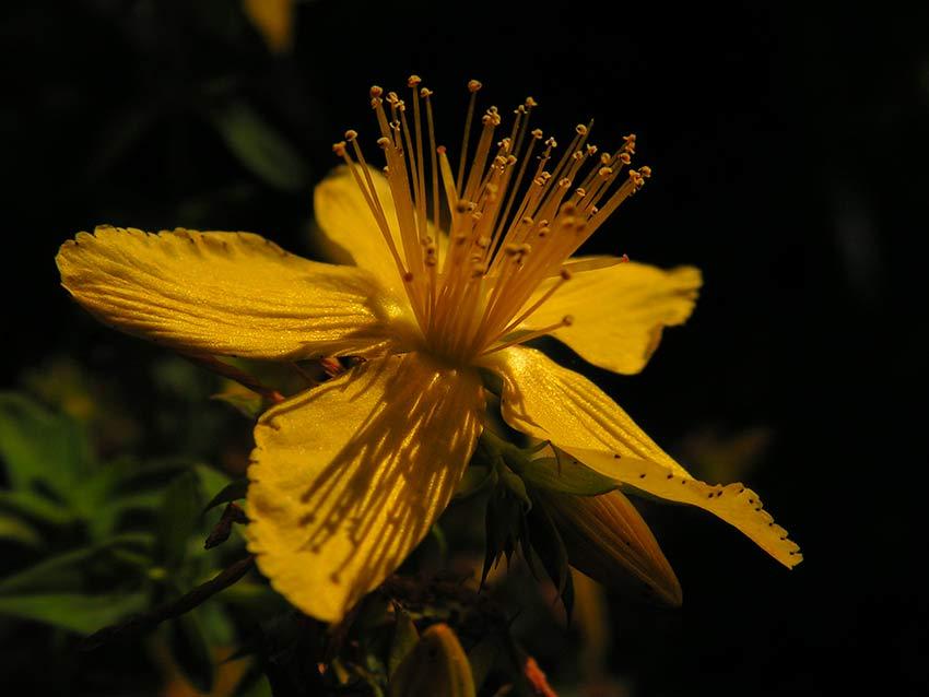 Beneficios del la hierba de San Juan