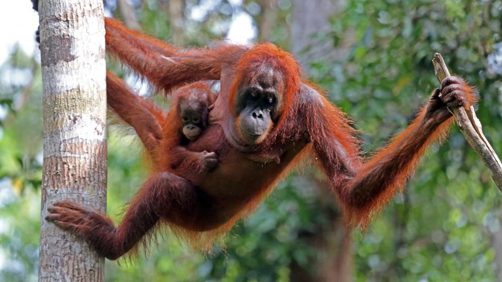 Los primates toleran mal los cambios ambientales. Su hábitat es restringido