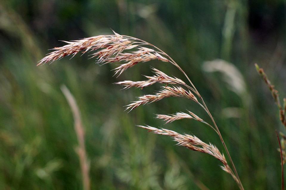 Cereal silvestre, alimento importante del Homo Sapiens