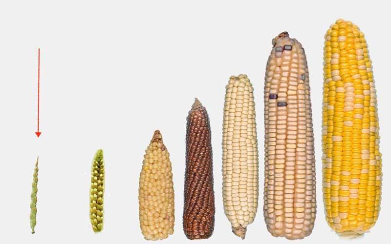 Transformación del maíz, alimento básico en la América neolítica