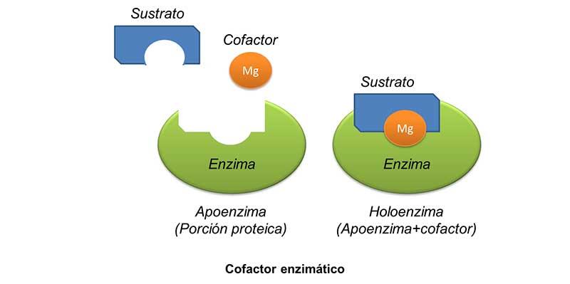 Oligoterapia catalítica: enzimas y cofactores