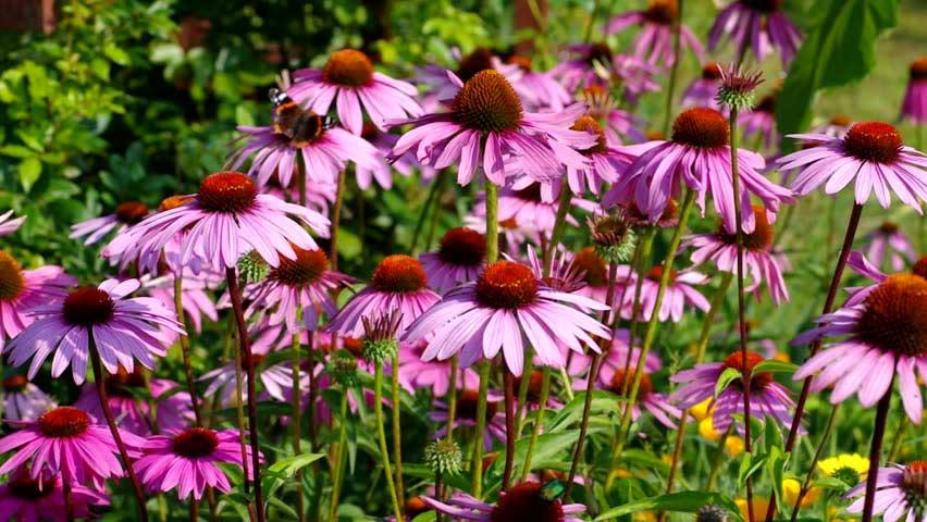 Echinacea purpurea, un antivírico potente
