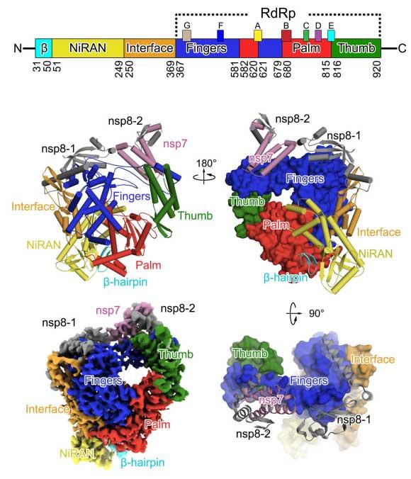 Estructura tridimensional de la polimerasa de RNA del coronavirus SARS-CoV 2.