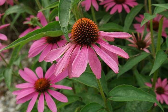 Flores de echinacea purpurea