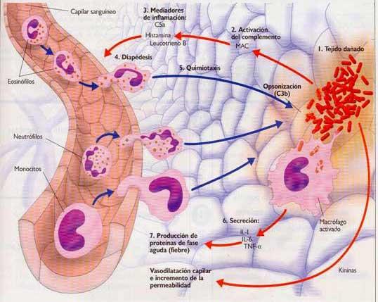 Migración de los neutrófilos