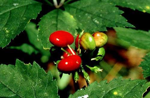 Bayas de Panax quinquefolium