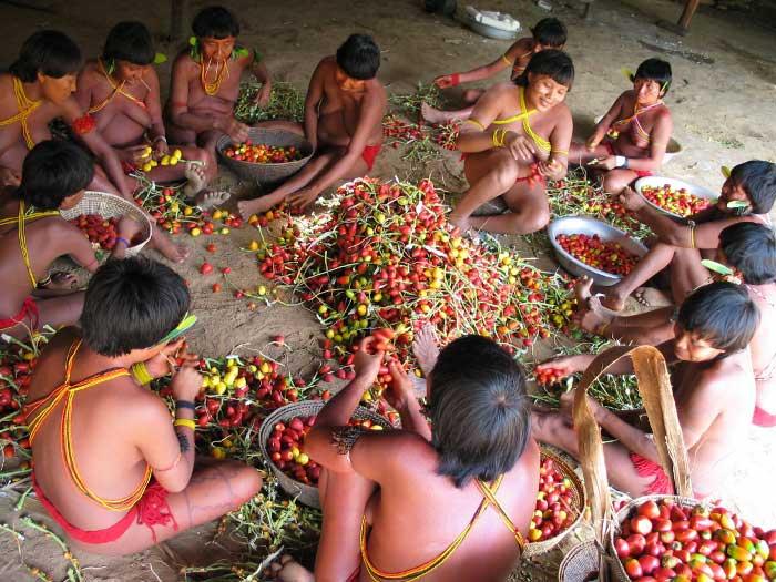 Yanomami preparando los nutritivos pejibayes.