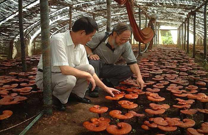 Cultivo de reishi