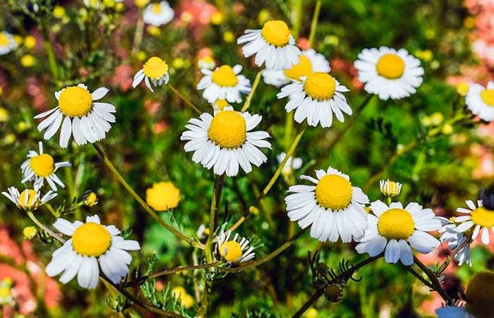 Manzanilla, una maravillosa planta medicinal.