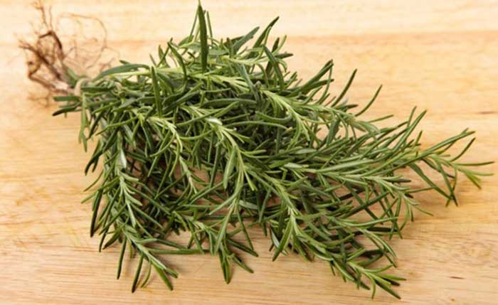 El romero, planta medicinal excepcional