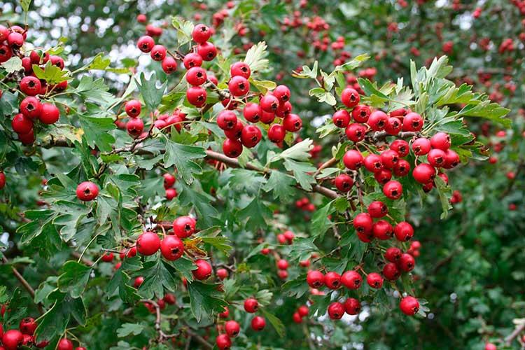 Frutos del espino blanco o majuelo